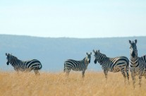 Tanzanie, la destination indiquée pour observer la faune sauvage