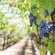 Un vignoble : un lieu idéal pour une belle découverte