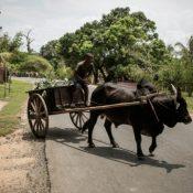 Les champs de cacao sur la Grande île de Madagascar