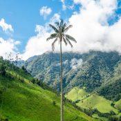 Les palmiers à cire, les géants de la Colombie